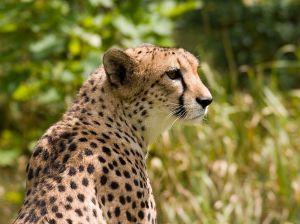 800px-Cheetah4-1